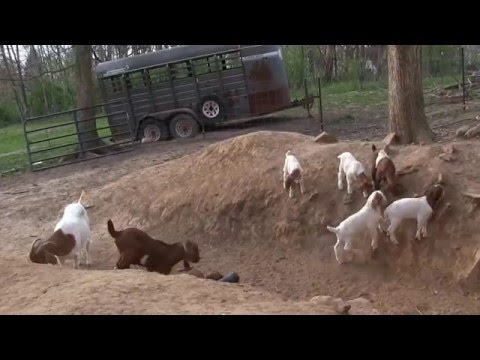 Baby boer goats play on hills