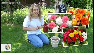 How to plant Begonias (corms/tubers) - FarmerGracy.co.uk