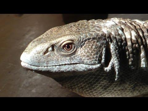 Martha the Savannah Monitor Lizard