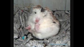 Really Cute And Funny Hamster Sleeping Positions, Part 2!