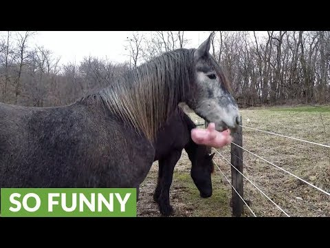 Great Dane steals horse's stuffed animal