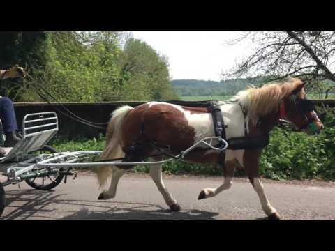 From rescue pony to driving pony - Sam the Dartmoor Hill pony