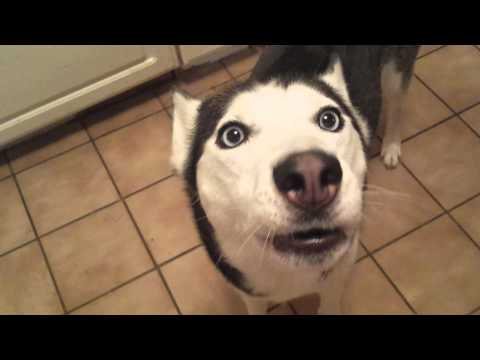 Husky singing happy birthday to A. J.