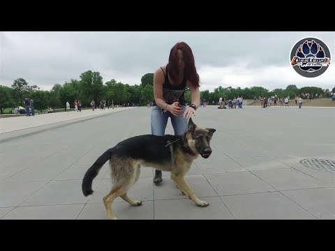 Stark Reactive 7mo German Shepherd | Reactive Dog Training | Two Week Board and Train