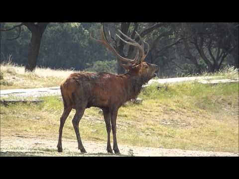 European Red Deer rutting season, bugling