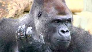 雨の日はブッ飛ぶシャバーニ gorilla jumps in rain.