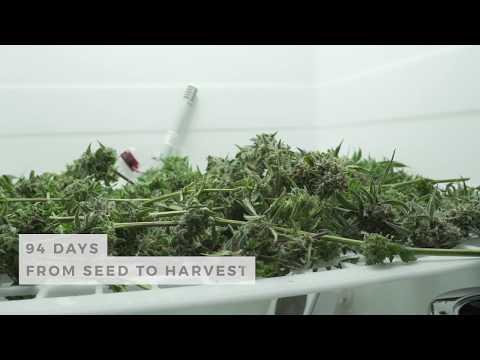 LEAF Harvest - Dinafem Seeds' Critical+