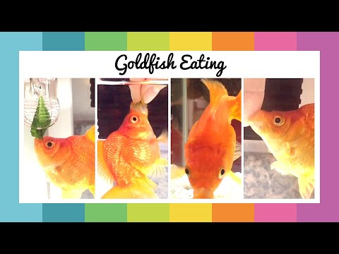1 Minute Watch Goldfish Eating! | Happy Minute