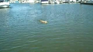 Indy retrieving bird.  Yellow lab dock jumping
