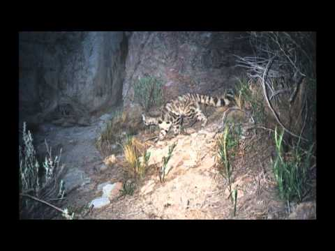 Andean Mountain Cat Camera Trap Photographs