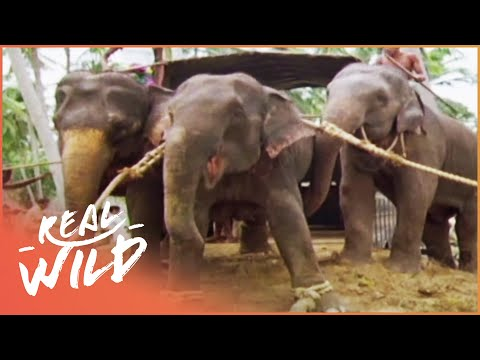 The Last Round Up Of The Elephants [Elephants In Chains Documentary] | Wild Things