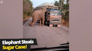 Hungry elephant holds up trucks to steal pieces of sugarcane | Wild elephant encounter