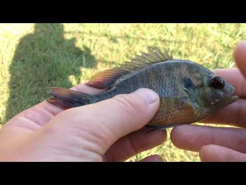 Stocking My Mini Pond With Bass, Catfish, Green Sunfish, And Bluegill