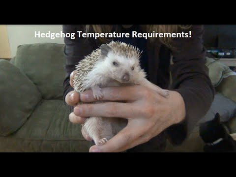 What Temperature Do Hedgehogs Need!?!
