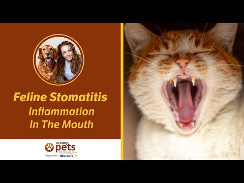 Feline Stomatitis - Inflammation In The Mouth