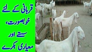 Biggest+Goats+Qurbani+2018 Videos - 9tube tv