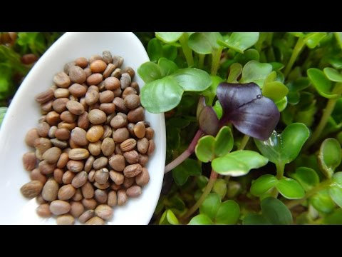 How to Grow Radish Sprouts / Radish Microgreens