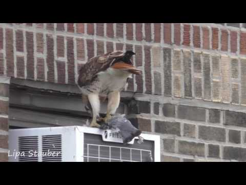 red tail hawk catches a pigeon