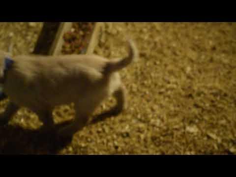 PuppyFinder.com : AKC Registered Golden Retriever Puppies For Sale