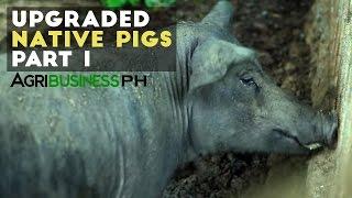 Native pig or black pig cross breeding | Upgraded native pig part 1 #Agriculture