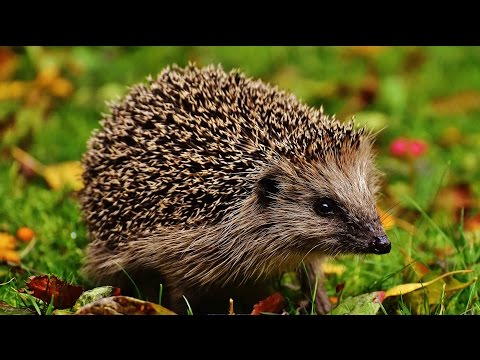 Where to see hedgehogs in the UK | Wild Britain