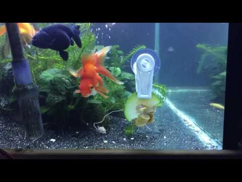 Goldfish clean up crew time lapse