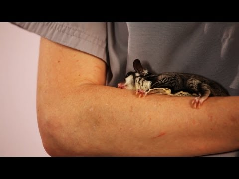 How to Keep Your Sugar Glider Healthy | Sugar Gliders