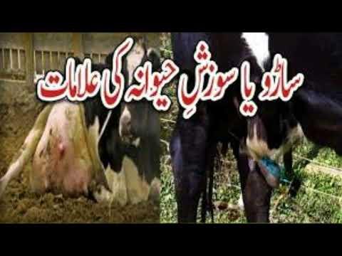 Mestitis in Milking animals treatment and care tips in Urdu/ Hindi / Saaru, Sozesh e havan ka elaaj