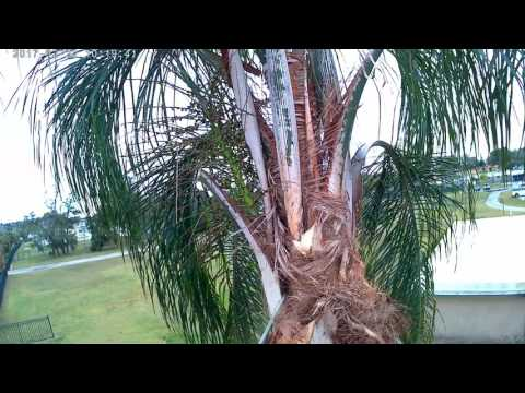 Trimming a queen palm