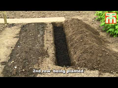 How to plant and grow Asparagus with Thompson & Morgan.