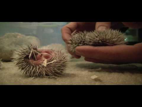 1 week old African Pygmy Hedgehogs