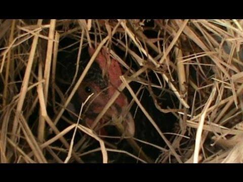 Secret chicken nest and a lizzard egg