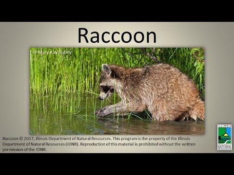Raccoon (CC Available)