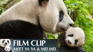 """""""Meet Ya Ya & Mei Mei"""" Clip - Disneynature"""