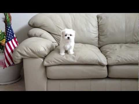 Maltese Puppy's First Jump Off A Couch