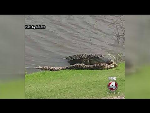 Caught on camera: Gator in Southwest Florida