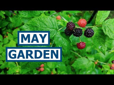 MAY GARDEN UPDATE! Berries, Greens, and Dodging a Tomato Disaster!