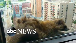 Raccoon scales more than 20-stories of office building