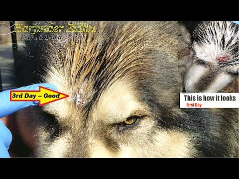 Sheru Alaskan Malamute, I used Neosporin Ointment to Treat his wound | Dog has Cut on his Head