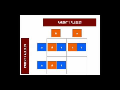 Introduction to Punnett Squares 2
