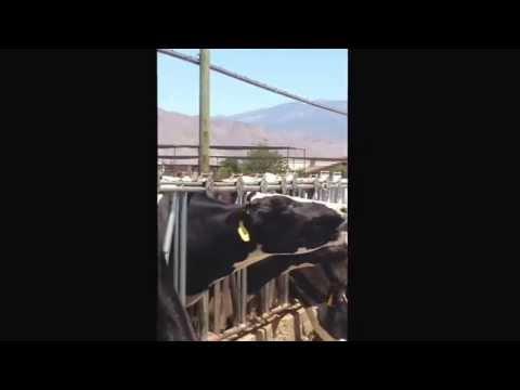 Mad Cow Tongue Disease