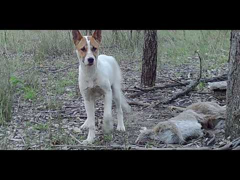 Wild Dogs in Australia