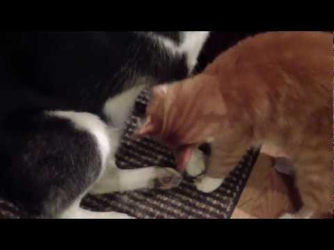 Husky Groomed by Cat