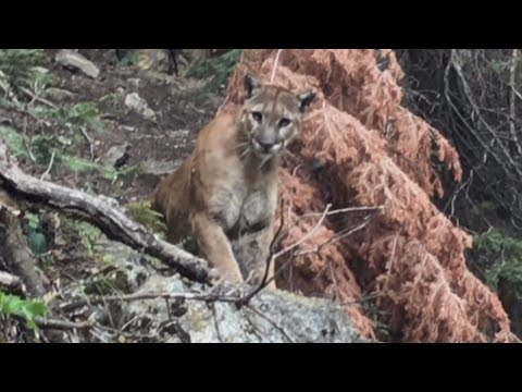 What to Do if You're Ever Followed By a Mountain Lion