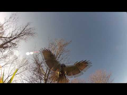 Falconry with a Red Tail Hawk