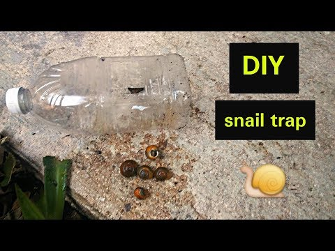 How to make a snail trap for garden snails or slugs