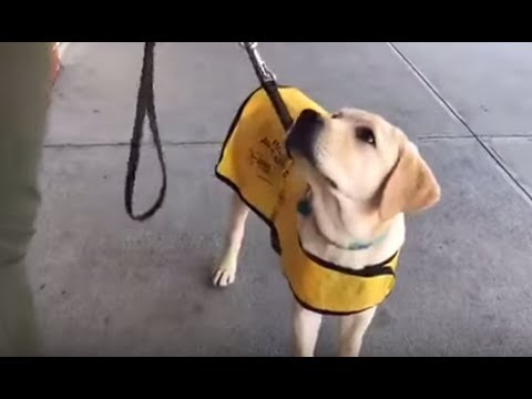 LIVE: Guide Dog Training with Smudge | The Dodo