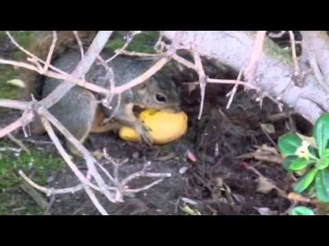 Squirrel eats mango!
