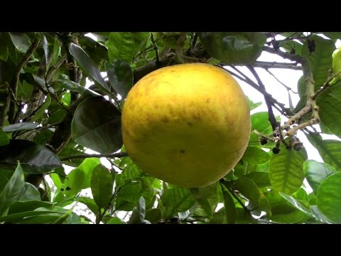 The Pomelo Tree and Fruit | Citrus maxima | HD Video