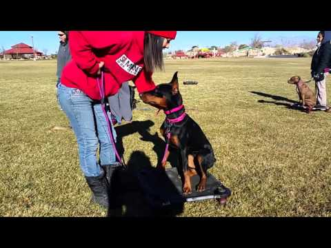 Aggressive Doberman Puppy- Board and Train with D'Awna of Sit Means Sit Summerlin